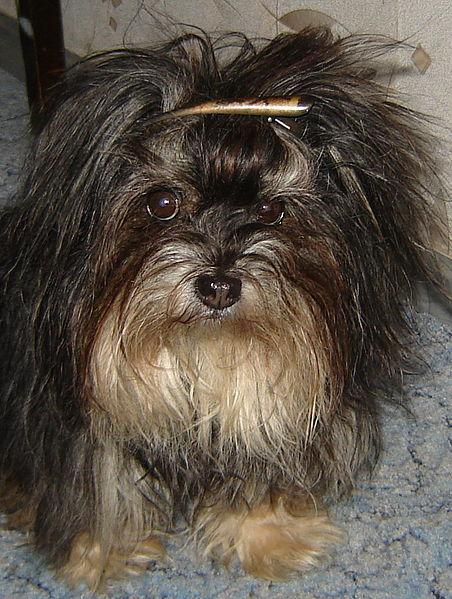 Σκυλί της χαβάη
