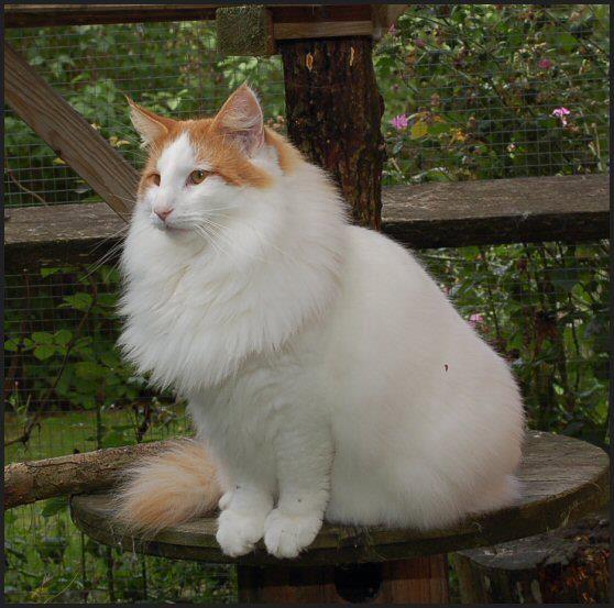 Η γάτα του νορβηγικού δάσους - norwegian
