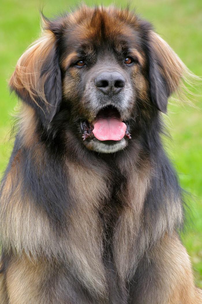 Λεονμπέργκερ (το σκυλί που μοιάζει σαν λεοντάρι ...