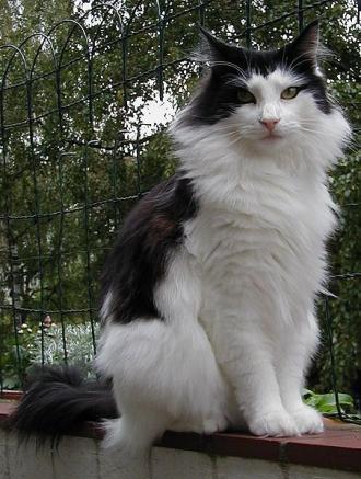 0eac5fc8dd26 Η γάτα του Νορβηγικού δάσους