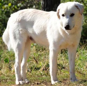 Σκύλος Ακμπάς Τσοπανόσκυλο...