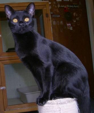 3f6974e0fb41 Γάτα της Βομβάης