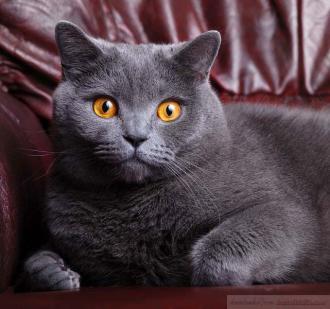 65e0fd511a20 Ράτσα Κοντότριχη γάτα Βρετανίας.   British Shorthair