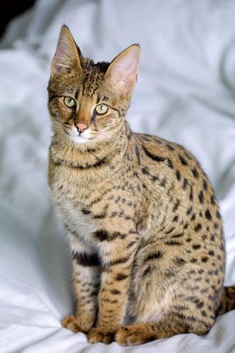 848b0c310f4f Γάτα της Σαβάννας