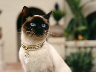 f1a53ce47cf3 Μια μοιάζει σαν της γάτας και άλλοτε σαν να κλαίει ένα μωρό. Γενικά όμως  ειναι ήσυχες και εφυείς και είναι οι μόνες γάτες που ...