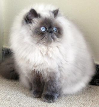 5f9d54cf4156 Γάτα των Ιμαλαίων