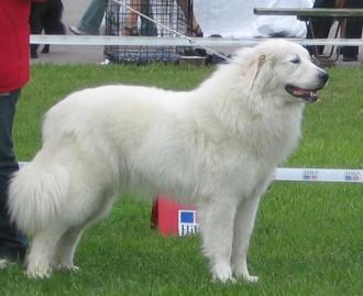 Ο σκύλος των Πυρηναίων...