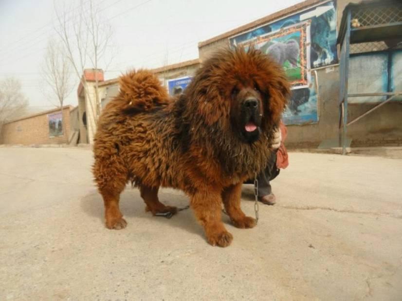 Θιβετιανό Μαστίφ