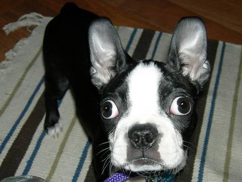 Σκυλιά με περίεργα μάτια
