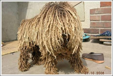 σκυλος σφουγγαρίστρα, το πούλι