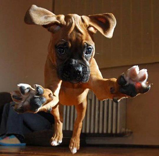 Boxer φωτογραφίες