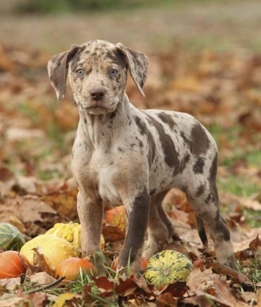 Ποιος είναι ο επίσημος σκύλος της Λουιζιάνας;...