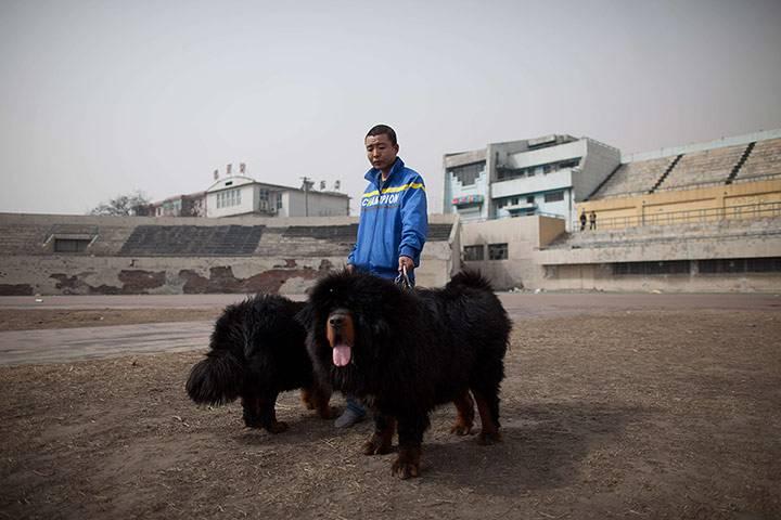 Θιβετιανο Μαστιφ