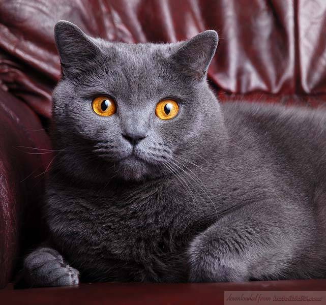 59ef802bc3f7 Πληροφορίες για τη ράτσα γατας Κοντότριχη γάτα Βρετανίας
