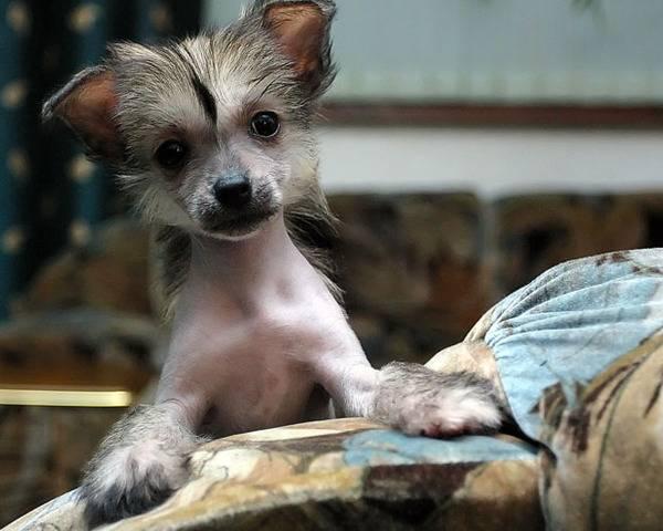 Κινέζικο σκυλί με λοφίο φωτογραφίες