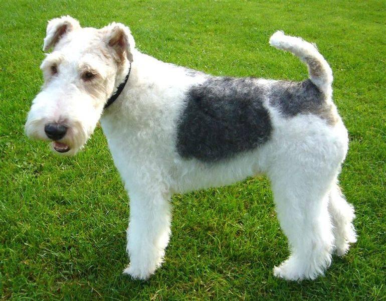 Γιατί χρησιμοποιούσαν το Wire Fox Terrier;