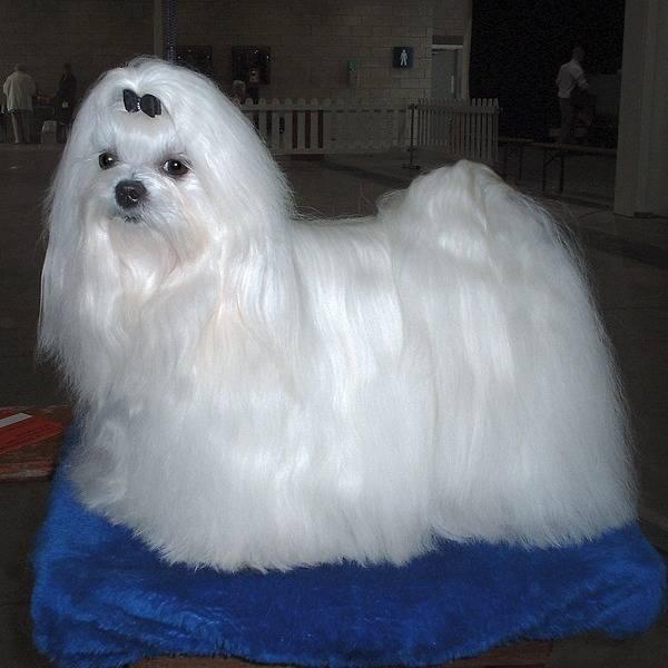 έ Maltese Dog ί ά ύ