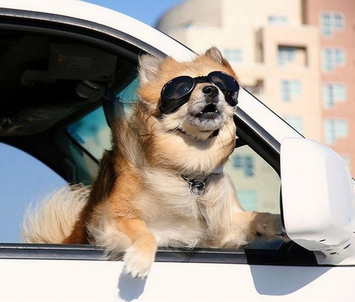 Σκύλος στο αυτοκίνητο