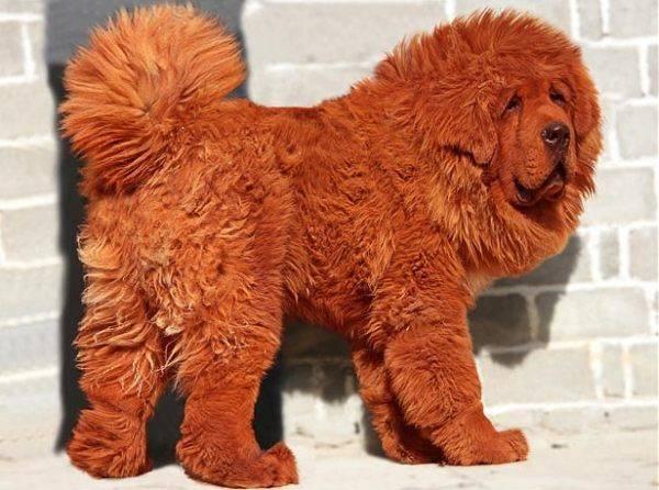 ο πιο ακριβός σκύλος του κοσμου