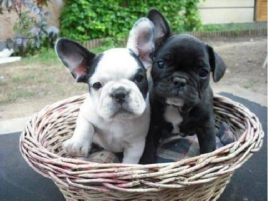 0d66d419cb79 Γαλλικό Μπουλντόγκ - French Bulldog - Πληροφορίες για τη ράτσα σκύλου