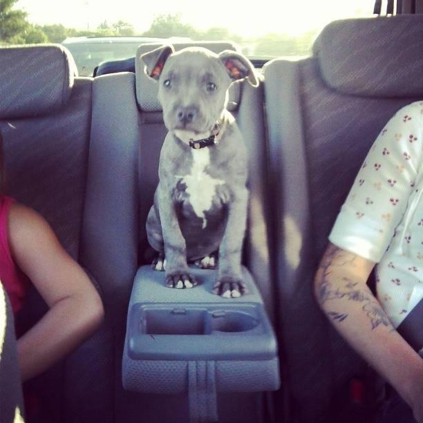 Pitbull στο αυτοκίνητο