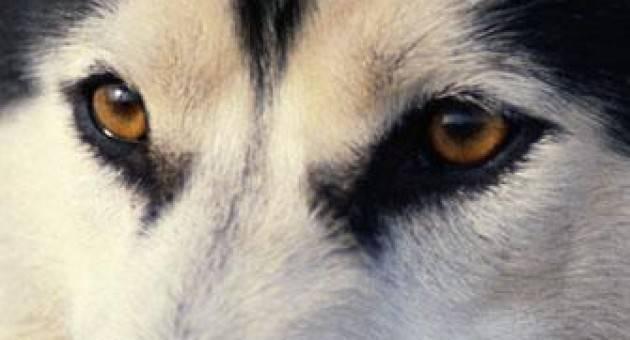 Γλαύκωμα: Ασθένειες που χτυπούν συνήθως τα καθαρόαιμα σκυλιά