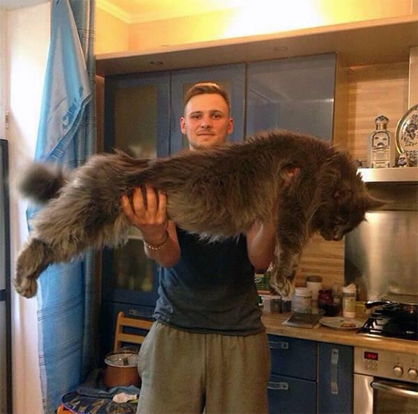 Γάτες Maine Coon