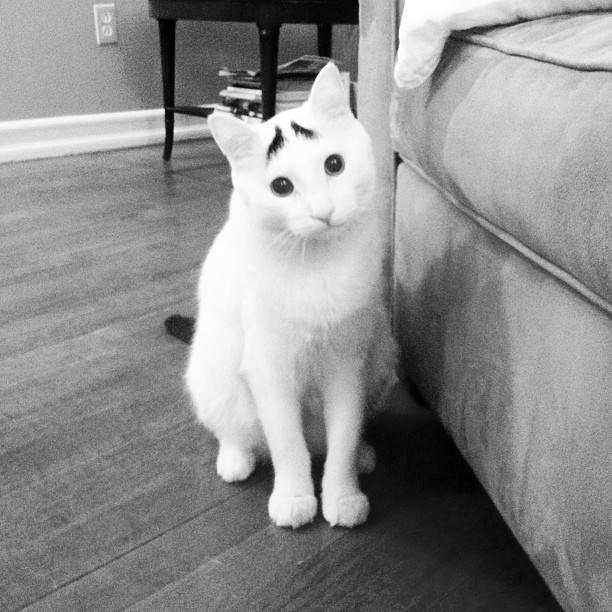 Γάτα με φρύδια