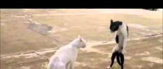 Ninja cat - come at me bro || HD 1080p