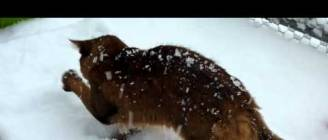 Muffin - The Somali Cat - ... and a great deal of snow