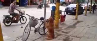 Best Dog Ever.  Dog Guards Owner's Bike!  Amazing Dog *ORIGINAL*