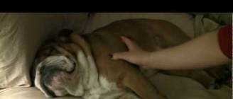 Teddy the English Bulldog jumps for the doorbell....and that's it.