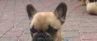 "French bulldog puppies  Goelleke part 3 from ""De petit Farouche"""