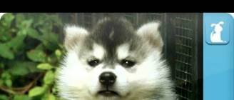 Siberian Husky Puppies - Puppy Love