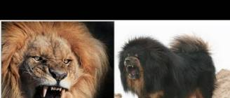 Mongolian Banhar strong as a Lion