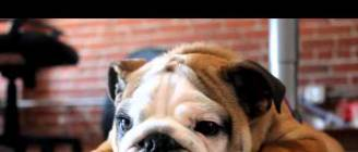 Porter  the English Bulldog