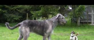 Jack Russell Terrier and Irish Wolfhound playing