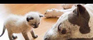 Best Of Dogs Meeting Kittens For The First Time Compilation 2015