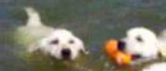 Labrador puppies swimming