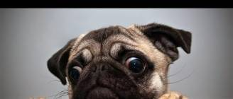 Ultimate Pug Video Compilation 2013 [NEW HD]