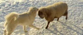 Old Man Farm - Ram tries to play with livestock guard dogs.