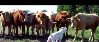 boxer vs cows