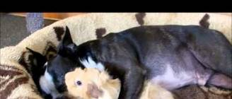 Baby Guinea Pig loves Boston Terrier