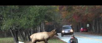 Elk vs. Photographer   Great Smoky Mountains National Park