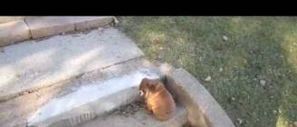 Bulldog Puppy vs. Steps