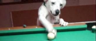 HALO THE POOL PLAYING DOG